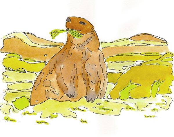 Marmotte - Illustration - Isabelle Milléquant Surr
